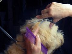 How to Groom Your Golden Doodle Sooo important for #doodle owners to know!
