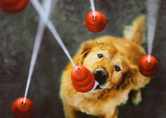 Golden Retriever Kongs DogVacay