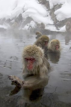 ✭ Snow monkeys (Macaca fuscata) bathing in natural hot springs - these guys are cool!