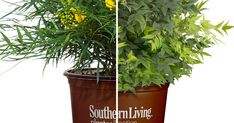 How to pair plants effortlessly - from Southern Living Soft Caress Mahonia, Lemon Lime Nandina, Dynamic Duos, Perfect Plants, Evergreen Shrubs, Companion Planting, Leaf Shapes, Simple Elegance, Clematis