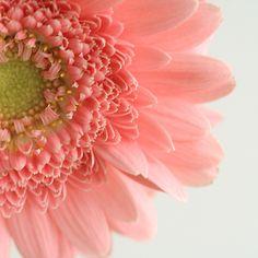 pink garbera