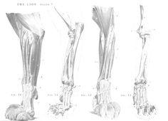 Lion anatomy - front legs