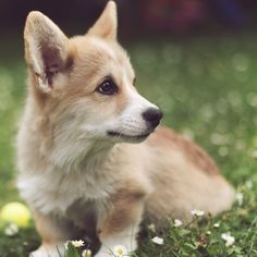 I am just torturing myself with this - I want a corgi SO badly, but apparently they shed enough hair in a day to clothe a small village. That doesn't work with a husband and father allergic to pet hair. :(
