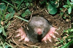 About moles in the garden and landscape. Follow the photo-link.