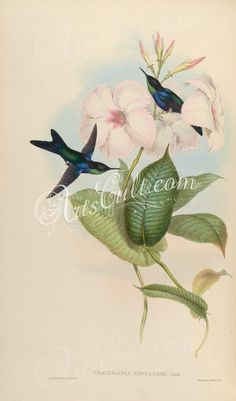 birds-23158 thalurania refulgens  botanical floral botany natural naturalist nature flowers flower beautiful nice flora plants blooming ArtsCult.com Artscult ArtsCult vintage printable public domain 300 dpi commercial use 1800s 1700s 1900s Victorian Edwardian art clipart royalty free digital download picture collection pack paintings scan high qulity illustration old books pages supplies collage wall decoration ornaments Graphic engrav