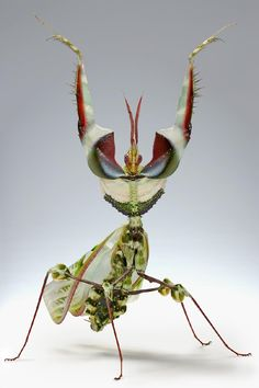 """Devil Mantis. Photo by Scott Thompson  The Idolomantis Diabolica is sometimes known as the """"King of all mantids"""" for the obvious reason: it's beauty, size and rarity, is one of the largest species of praying mantis that mimic flowers."""
