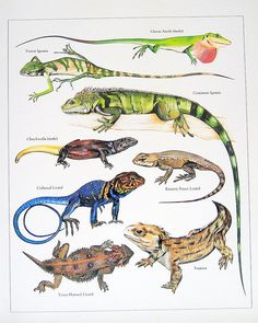 Green Anole, Forest Iguana, Collared Lizard, Commom Iguana Vintage 1984 Reptiles Book Plate. $10.00, via Etsy.