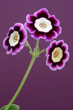 Blue Heaven, Auricula ~ Magical I have this, and 6 other colors. They are fun.