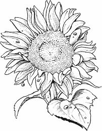 MAGIC COLORING Sunflower Coloring pages Blm til a lita
