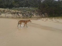 Nicole Francine Duncan spots a local on her trip to Fraser. #eurongbeach #fraserisland #queensland #australia www.eurong.com.au #deals