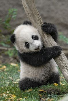 Panda Hugging a tree
