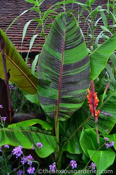 Indoor Tropical Plants, Small Tropical Gardens, Tropical Garden Design, Tropical Backyard, Tropical Landscaping, Small Garden Design, Exotic Plants, Landscaping Plants, Outdoor Plants