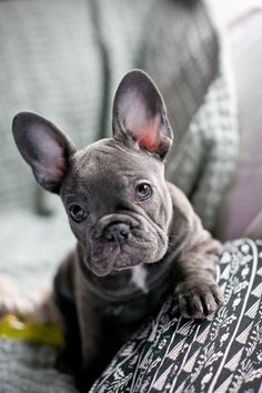 The major breeds of bulldogs are English bulldog, American bulldog, and French bulldog. The bulldog has a broad shoulder which matches with the head. Grey French Bulldog Puppy, Cãezinhos Bulldog, Blue Bulldog, Blue French Bulldogs, Teacup French Bulldogs, Bulldog Rescue, English Bulldogs, Cute Puppies, Dogs And Puppies
