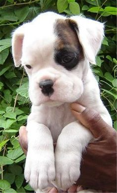 White american boxer dog puppy