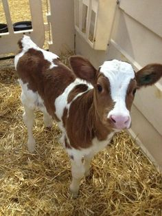 Baby cows are just to cute 😍 Cute Baby Cow, Baby Cows, Cute Cows, Baby Farm Animals, Baby Elephants, Cow Pictures, Animal Pictures, Random Pictures, Beautiful Creatures