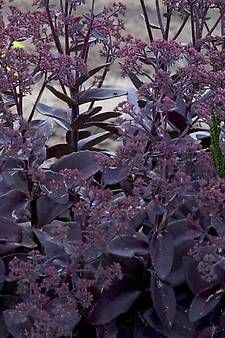 Perennial SEDUM Black Jack - It emerges in the spring with green and light purple foliage in the spring and will quickly darken to deep purple. Zone 3-9