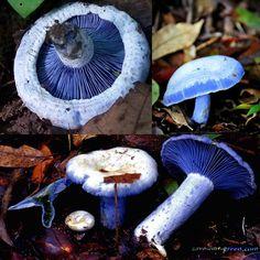 Blue milk mushroom