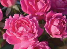 The Pink Double Knock Out® Rose | Star Roses & Plants