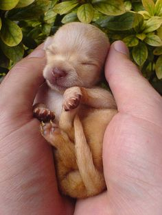 chihuahua pup. I had short-haired and long-haired chihuahuas while I was growing up- they had pups this small. SO CUTE!