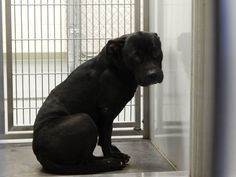 """TO BE DESTROYED 10/16....MUST HAVE COMMITMENT BY 430P 10/15.  """"Mercedes"""" ID#2013-09-146 female PitX 2-3years 51lbs shy  WINDER, GA Barrow County Animal Control Shelter  616 Barrow Park Drive Winder, GA 30680   https://www.facebook.com/photo.php?fbid=581130291950171&set=a.590768927652974.1073741858.366722686724267&type=3&theater"""