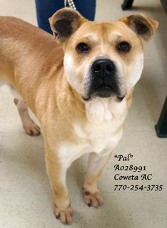 """A-18 EXTREMELY URGENT! Sharpei, Labrador Retriever Mix •Sex: Male •Age: Adult (4 years per shelter notes) •Size: Medium •Weight: Weight no available •ID: A028991 •Shelter Name: """"Pal"""" •Vaccinated, Heartworm POSITIVE PLEASE CONTACT COWETA COUNTY ANIMAL CONTROL TO ADOPT THIS PET: 770-254-3735. The address is 91 Selt Road, Newnan, GA. """"Pal"""" looks to have some Sharpei in the mix and perhaps Labrador Retriever. He is a wonderful, laid back fella"""