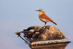 Casaca-de-couro-de-lama em Lagoa Santa - MG.
