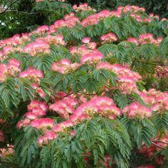 Pink Silk Tree Seeds (Albizia julibrissin) – Under The Sun Seeds Deciduous Trees, Flowering Shrubs, Shade Garden, Garden Plants, Flower Gardening, Balcony Garden, Beautiful Gardens, Beautiful Flowers, Persian Silk Tree