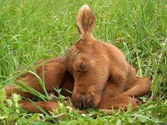 Baby moose ...