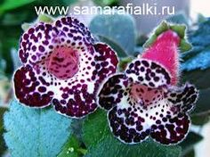 kohleria blackberry butterfly - Google Search