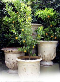 Lemon trees...waiting for my new Leimonia!