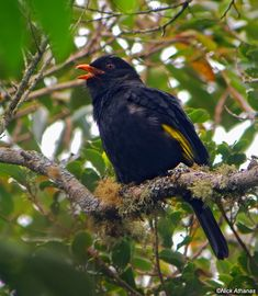 The Black-and-gold Cotinga (Tijuca atra) is a species of bird in the Cotingidae family. It is endemic to humid Atlantic Forest in the highlands of the Serra do Mar in south-eastern Brazil. It is threatened by habitat loss