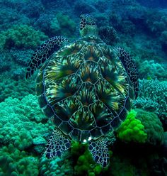 I have no idea what type of turtle this is but what a beautiful compliment to the sea!! (Hawksbill Turtle)