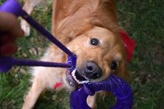 KONG Squeezz toys are designed to provide stimulation through fetch and retrieve play that taps the natural hunting instincts of your dog. Read the MyDogLikes review here!