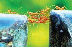 Karıncalar ve takım ruhu...bazen sadece bir köprü olursun.