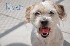 RIVER. Animal ID: 22809239Species: Dog Breed: Terrier, Jack Russell/Shih Tzu Age: 3 years 1 day Sex: Female Size: Small Color: White/Beige Spayed/Neutered: YesDeclawed: No Housetrained: Unknown Site: Hamilton/Burlington SPCA Location: Dog Adoption Kennels Intake Date: 5/26/2014 Adoption Price: Not available. Hamilton Burlington SPCA