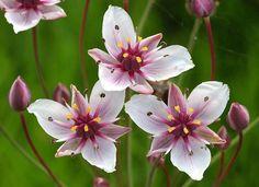 Flowering Rush Flowers