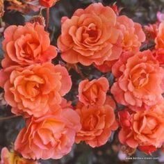 rosengarten sorten und tipps on pinterest beautiful roses rose and the world. Black Bedroom Furniture Sets. Home Design Ideas