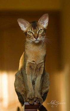 Abyssinian cat; cover of Connoisseur Magazine, photo by Wegman; my Mr. Pink Ears