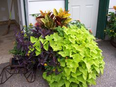Sweet potato vine, croton petra, setcreasea, and lantana make for a beautiful container garden. The greens compliment the deep purple and allow for a nice color contrast. The trailing vines look nice to make your container garden look more full.