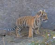 Alert. #tigers #cubs #tigercubs #atigerstail #movies #films #children #kids Tiger Pictures, Epic Pictures, Tiger Art, Tiger Tiger, Tiger Tails, Big Cats, Cubs, Lions, Bears