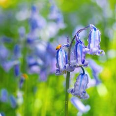 Hyacinthoides non scripta. The native English bluebell. The perfect flower to mark the first day of… English Bluebells, Instagram Accounts, Wind Chimes, Bulbs, Nativity, In This Moment, Day, Outdoor Decor, Flowers