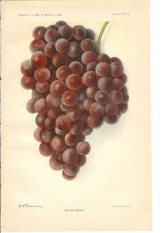 1906 Fruit Print - Banner Grape - Vintage Home KitchenPlant Art Illustration 100 Years Old. *