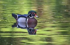 Nature's Beauty - A Wood Duck drake swims near his family in the Florida Cypress swamp.