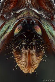 Physiphora Smaragdina (Loew). labella @20X