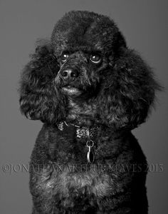 A Portrait of a Poodle 11x14 Print by LesTroisRosesRouges on Etsy, $54.99