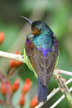 Brown-throated Sunbird | by kampang