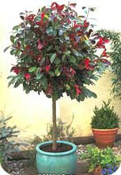 Struiken en bomen planten in potten voor op terras en balkon - soorten bomen en struiken die in grote kuipen kunnen worden geplant