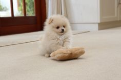 The traits we all admire about the Lively Pomeranian Puppy Discover Inquisitive Pomeranians Cute Dogs And Puppies, Little Puppies, Baby Dogs, Little Dogs, Doggies, Cute Funny Animals, Cute Baby Animals, Animals And Pets, Cute Pomeranian