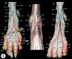 Arteries And Veins, Animal Anatomy, Safe For Work, Anatomy Reference, Profile, Image, User Profile