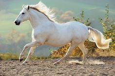 Love of white horses